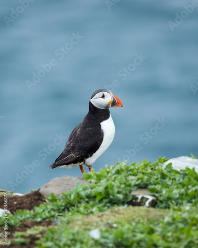 Puffin, sea bird, on rocks at the Farne Islands, Northumberland, England, UK.