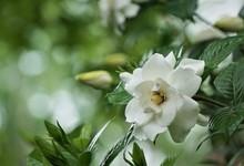Gardenia Flower (Gardenia Jasminoides) Is Blooming On The Green Garden Background, Spring In GA USA.