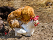 Animal Rooster Treads A White...