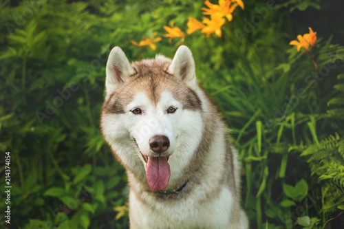 Portrait Of Cute Beige Dog Breed Siberian Husky With Tonque Hanging