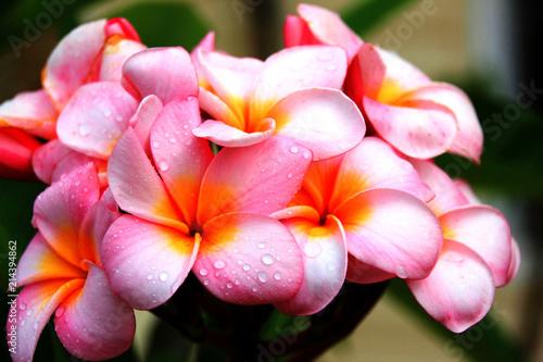 Fotobehang Frangipani Pink Plumeria