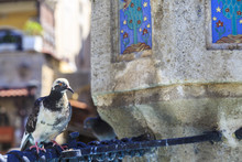Pigeon On The Fountain In Hippocrates Square In Rhodes, Dodecanese, Greece
