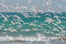Sea Gulls  (Thalasseus Elegans...