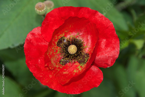 Close up of one red poppy flower a poppy is a flowering plant in close up of one red poppy flower a poppy is a flowering plant in the subfamily papaveroideae of the family papaverace poppies have long been used as a mightylinksfo