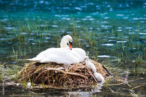 Fototapeta premium Swan nest in mountain lake. Mother bird and babies