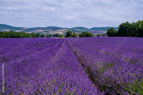 Garden Poster Lavender Champ de lavande sur le plateau d'Albion, Provence, France.