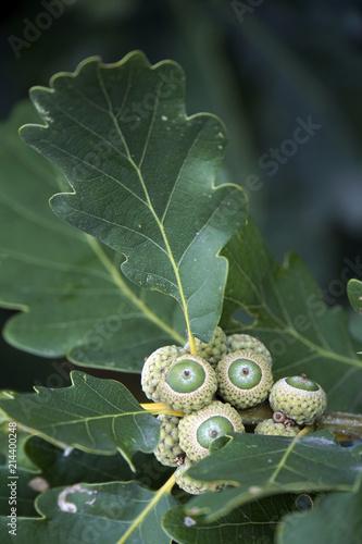 Traubeneiche (Quercus petraea),  auch Wintereiche