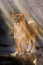 Female Lion In The Sunlight