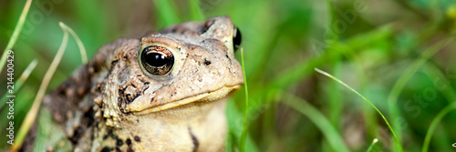 Closeup Of Common Toad In Nature