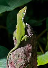 Green Lizard On A Stump
