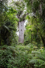 Tane Mahuta, Or Lord Of The Forest, The Largest Surviving Kauri Tree In New Zealand. Situated In Waipoua Forest, Northland, New Zealand.