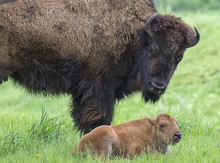 Female American Bison (Bison Bison) With Calf