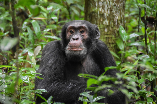 Close up portrait of Chimpanzees, Kibale Forest Uganda Tablou Canvas