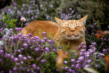 Content Orange Tabby Cat Scenting The Breeze In A Flower Patch (purple Sweet Alyssum And Thyme)