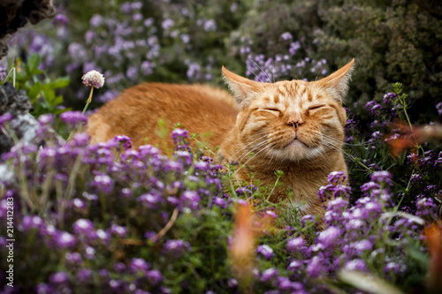Fotomural Content orange tabby cat scenting the breeze in a flower patch (purple sweet aly