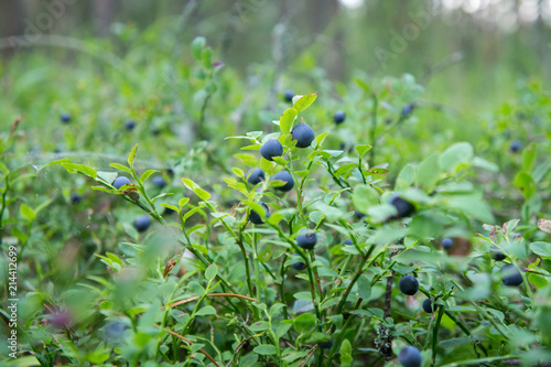 Photo Bilberries on a bush in the forest.