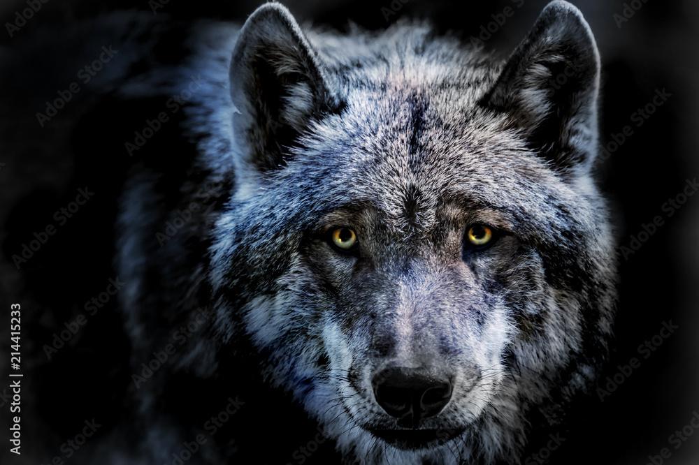 Fototapeta das Porträt von einem Wolf