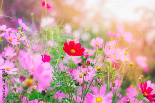 Tuinposter Bloemen Colorful bright cosmos flowers, beautiful background