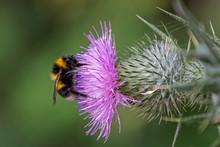 Buff-tailed Bumblebee (Bombus ...