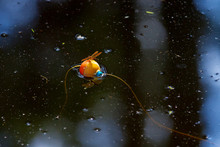 Orange Flame Skimmer Dragonfly On A Fishing Bobber Both Float On A Still Lake With Bits Of Tree Debris All Around
