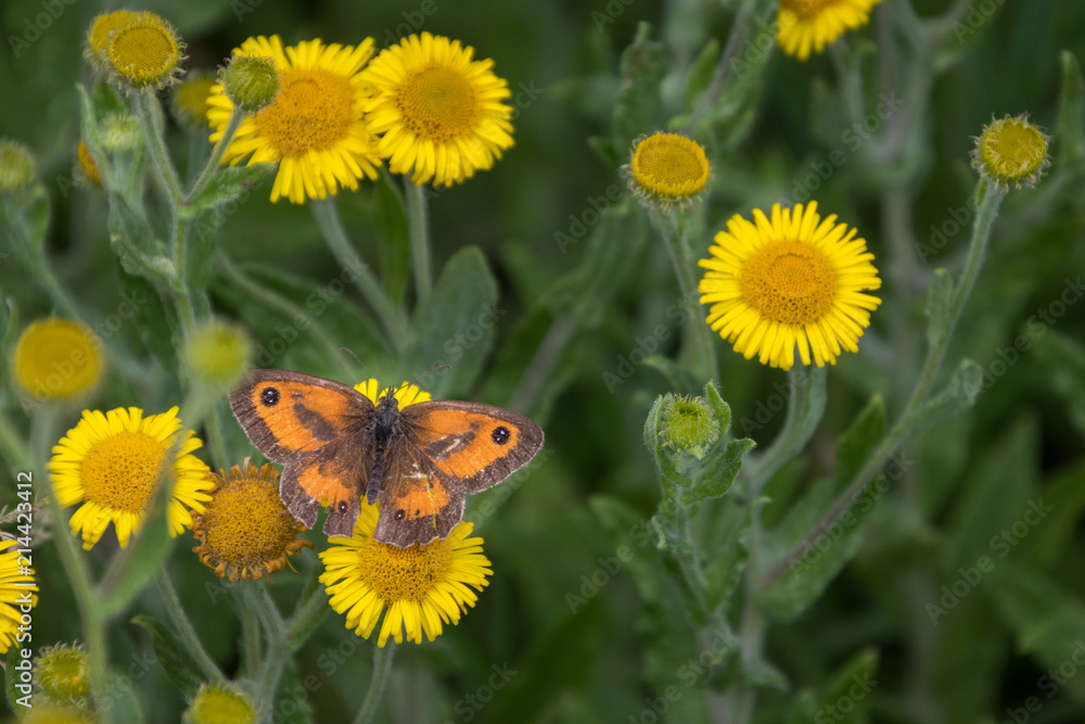 Gatekeeper feeding on a Common Fleabane (Pulicaria dysenterica) flowering near Ardingly Reservoir in Sussex
