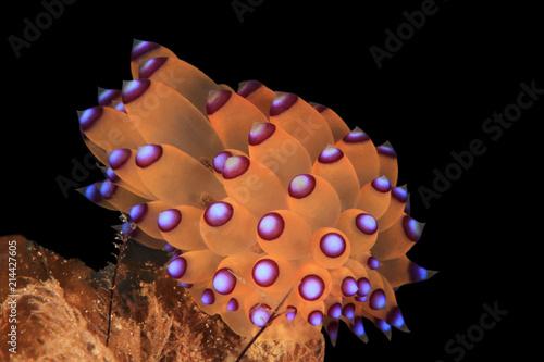 Purple-tipped Janolus (Janolus savinkini), Anilao, Philippines