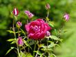 Beautiful lush pink rose but the background of still not budding small buds