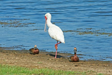 African Spoonbill Standing On One Leg