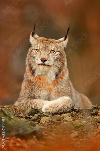 Fototapeta premium Lynx in orange autumn forest. Wildlife scene from nature. Cute fur Eurasian lynx, animal in habitat. Wild cat from Germany. Wild Bobcat between the tree leaves. Close-up detail portrait.