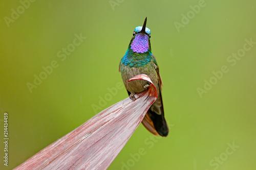 Obraz na plátne Purple-throated Mountain-gem, Lampornis calolaemus, hummingbird from Costa Rica