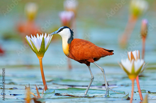 African jacana, Actophilornis africana, colorful african wader with long toes next to violet water lily in shallow water of seasonal lagoon, Botswana,Okavango delta Wallpaper Mural