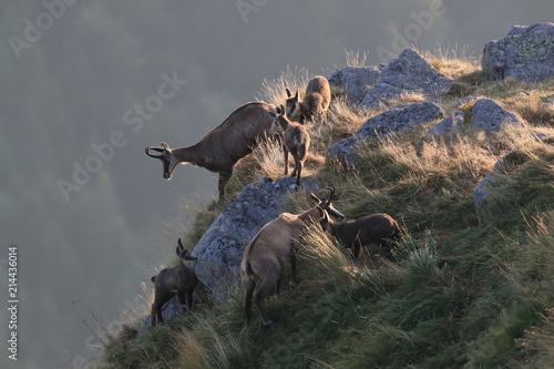 Chamois  Rupicapra rupicapra   Vosges Mountains  France