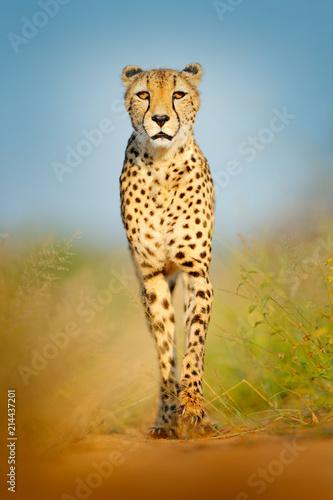 Fototapeta premium Gepard, Acinonyx jubatus, chodzący dziki kot. Najszybszy ssak na lądzie, Botswana, Afryka. Gepard na żwirowej drodze w lesie. Łaciasty dziki kot w środowisku naturalnym, Okawango.