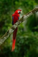 Red Parrot Scarlet Macaw, Ara ...