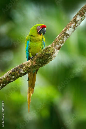 Wild rare bird in the nature habitat, sitting on the branch in Costa Rica. Wildlife scene in tropic forest. Ara ambigua, Green parrot Great-Green Macaw on tree.