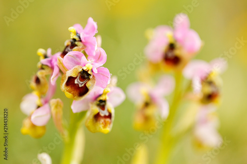 Fotobehang Lente Ophrys tenthredinifera, Sawfly Orchid,Gargano in Italy. Flowering European terrestrial wild orchid, nature habitat. Beautiful detail of bloom, spring scene from Europe. Wild flower on green meadow.