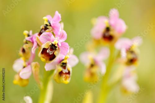 Staande foto Lente Ophrys tenthredinifera, Sawfly Orchid,Gargano in Italy. Flowering European terrestrial wild orchid, nature habitat. Beautiful detail of bloom, spring scene from Europe. Wild flower on green meadow.