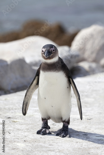 Foto op Plexiglas Pinguin Penguin at Betty's Bay in South Africa