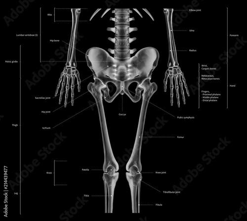 Infographic Diagram Of Lower Half Human Skeleton Anatomy System