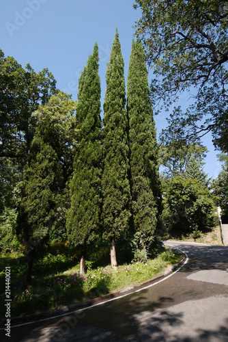 Fotografiet  three high cypress trees in a park near the road