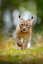 Young Lynx In Green Forest. Wi...