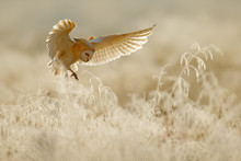Owl Fly With Open Wings. Barn Owl, Tyto Alba, Flying Above Rime White Grass In The Morning. Wildlife Bird Scene From Nature. Cold Morning Sunrise, Animal In The Habitat.