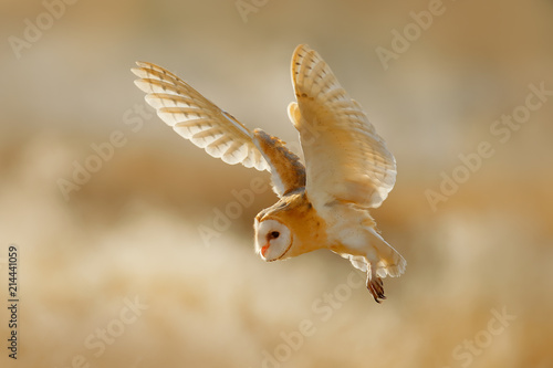 Owl fly with open wings. Barn Owl, Tyto alba, sitting on the rime white grass in the morning. Wildlife bird scene from nature. Cold morning sunrise, animal in the habitat.