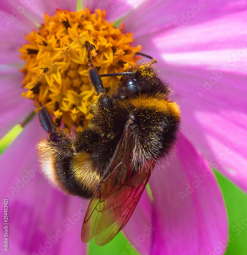 bumble bee, cosmos bipinnatus Fototapet