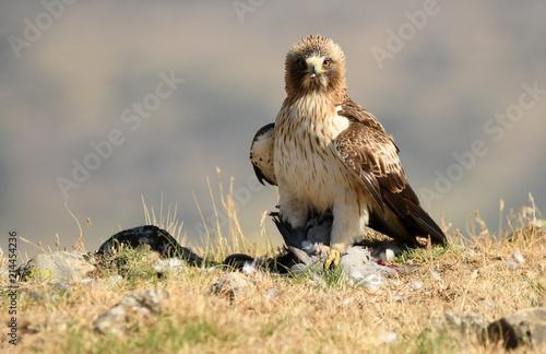 Aguila calzada adulta con una presa Canvas Print