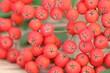 Leinwandbild Motiv Detailaufnahme der Naturheilpflanze Eberesche - Baum des Jahres
