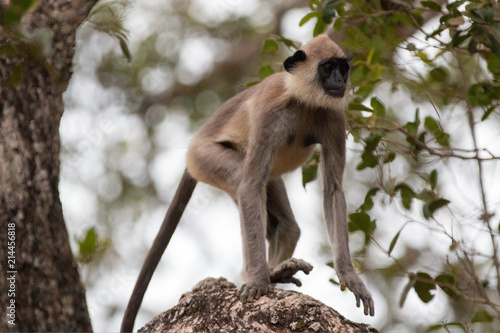 Grey Langur Monkey walking in the trees in Wilpattu National Park in Sri Lanka A Poster