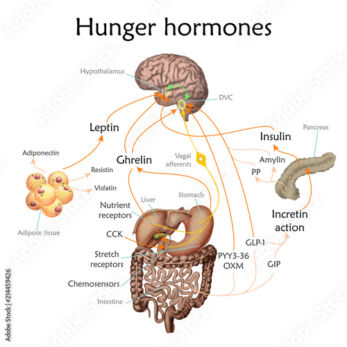 Appetite and hunger hormones vector diagram illustration. Fototapete