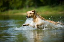 Labrador Retriever Springt Ins Wasser