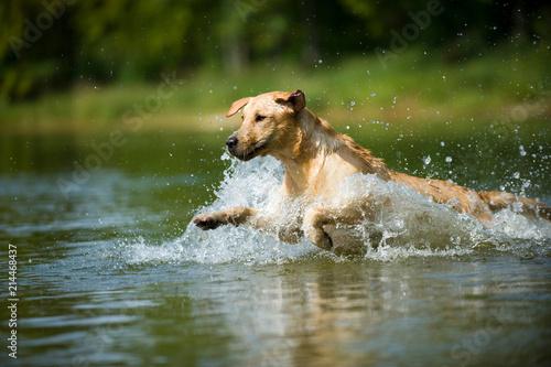 Fototapeta Labrador Retriever springt ins Wasser